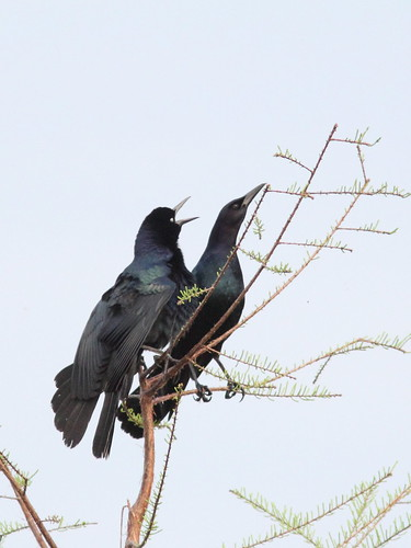 Boat-tailed Grackle display 2-20160404