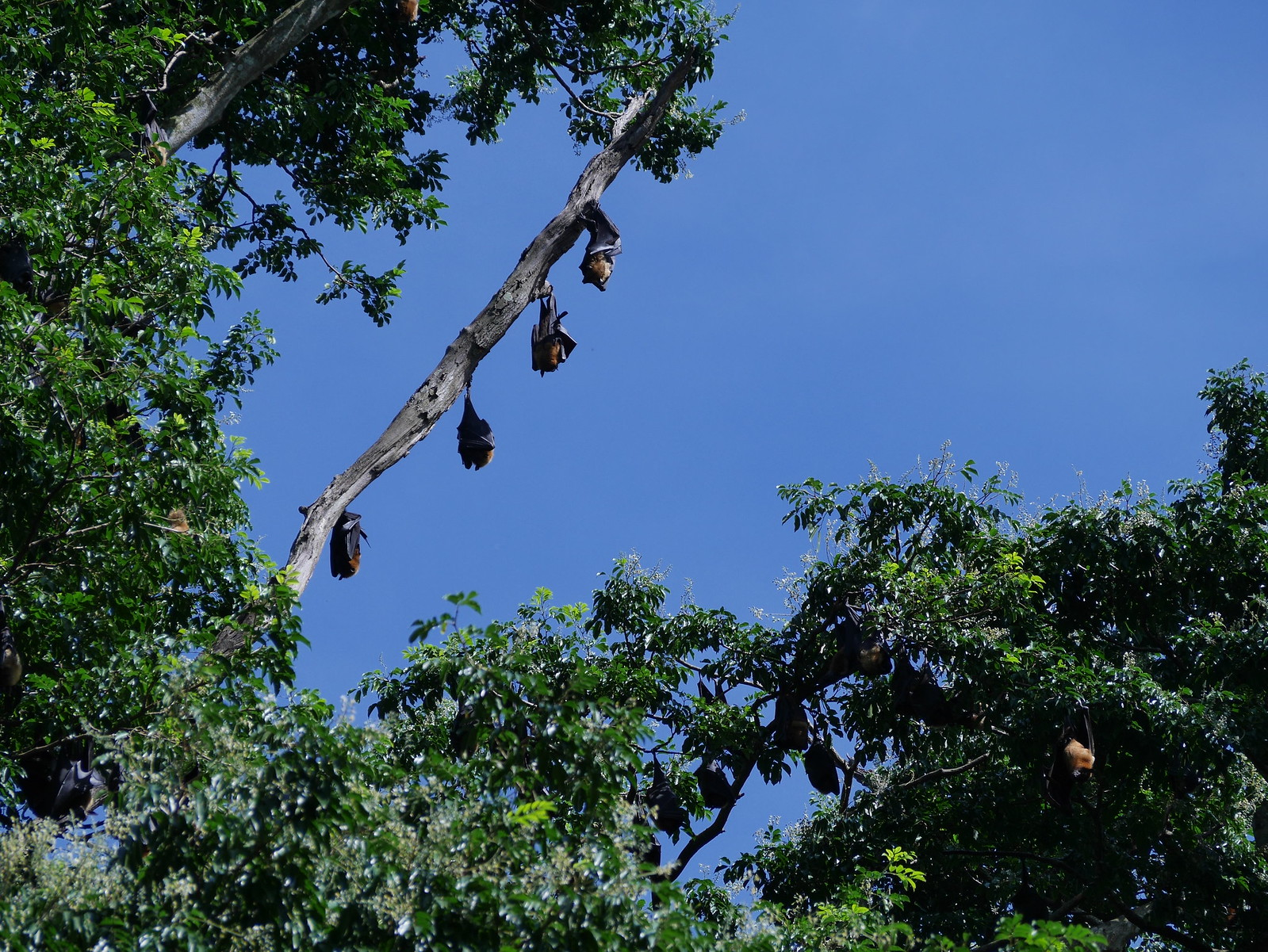 Flying Foxes, not flying.(Kandy Botanical Gardens, Sri Lanka)
