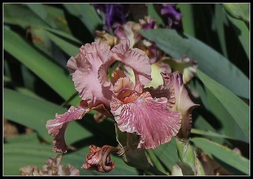Iris broken color 24000681994_8b592bfcbe