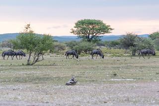 Blue Wildebeest (Gnus)