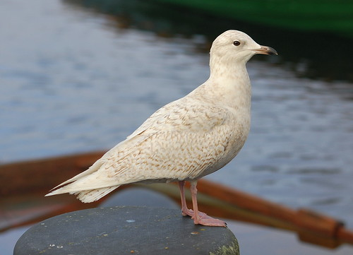 Iceland Gull | by Michael K Bell