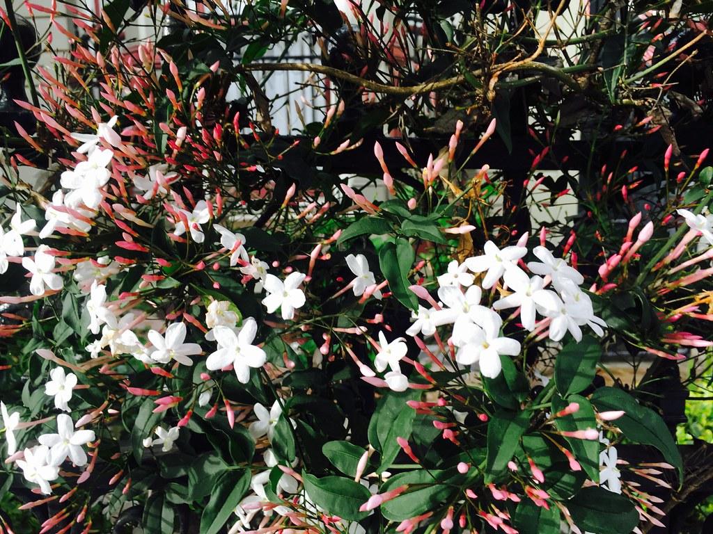 Jasmine Little White Flowers Smell So Good Lynn Friedman Flickr