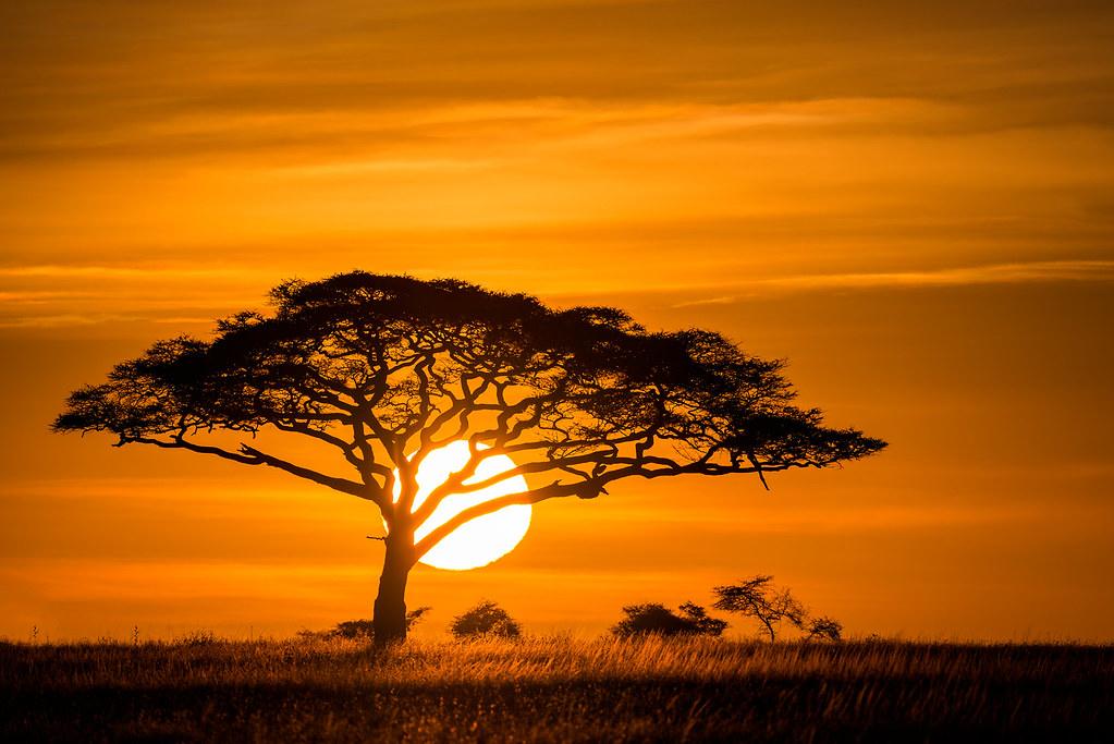 Sunrise on the Serengeti | The Umbrella Thorn Acacia Tree is… | Flickr