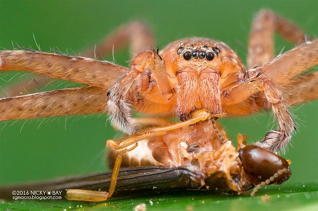 Huntsman spider (Heteropoda sp.) - DSC_2222b
