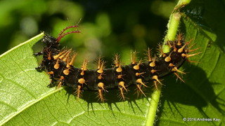 Spiny caterpillar of the Rusty-tipped Page, Siproeta epaphus | by Ecuador Megadiverso