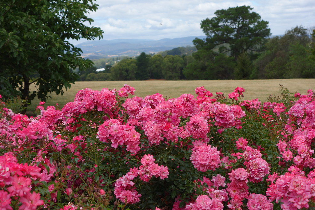 Flower carpet pink supreme in drought flower carpet roses flickr by anthony tesselaar plants flower carpet pink supreme in drought by anthony tesselaar plants mightylinksfo