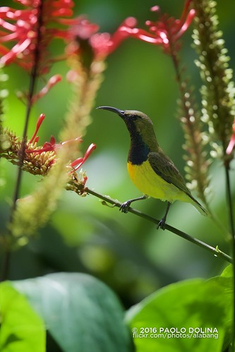 Olive-backed sunbird (Cinnyris jugularis) | by alabang
