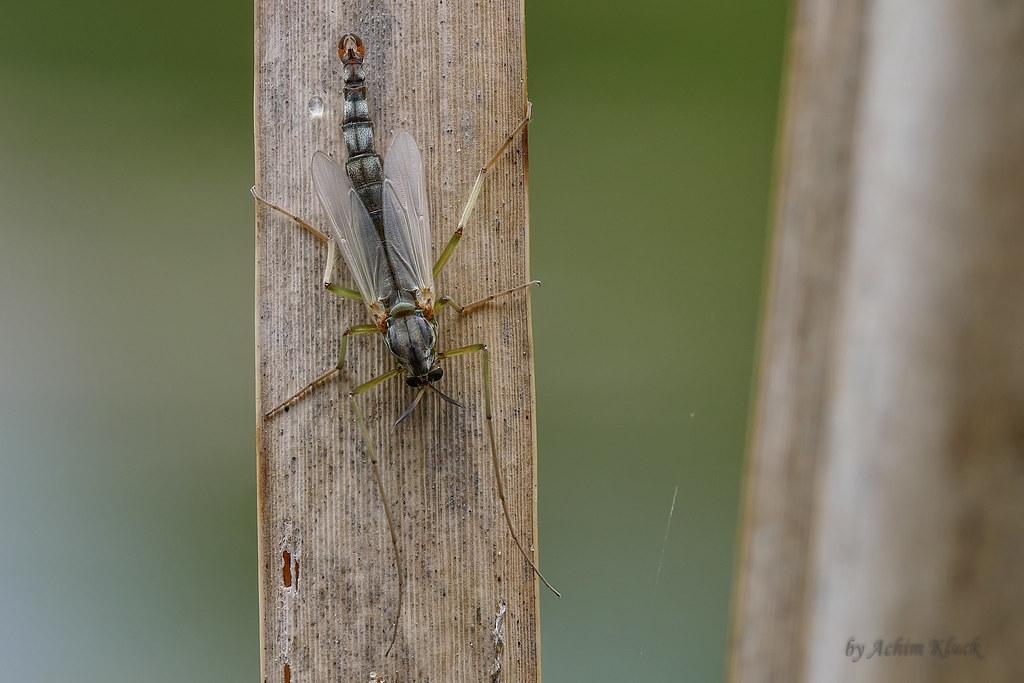Intersexuelle Zuckmücke (Chironomidae) männliche Genitalie…   Flickr