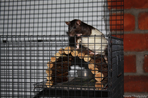 If you have a wire mesh cage for your pet rats, make sure you cover the surfaces, so their tiny feet stay healthy.