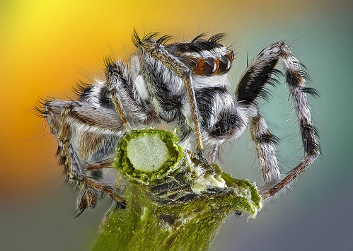 Jumping Spider | by Rui Pará