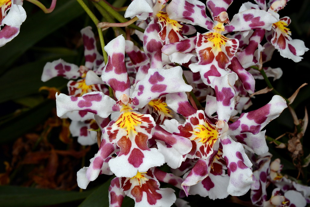 Oncidium King Diamond \'Flushed\' | Seen at Mauna Kea Orchids,… | Flickr