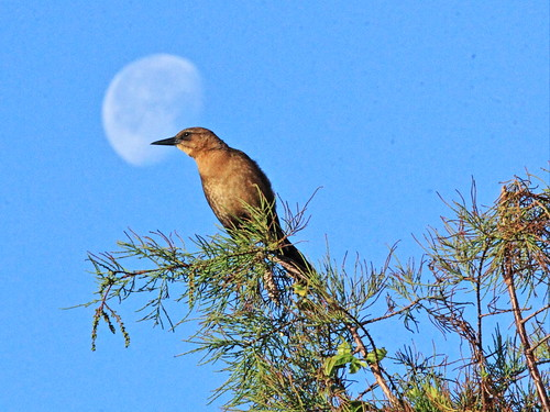 Boat-tailed Grackle female with moon 2-20151229