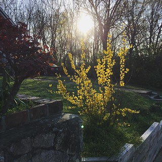 March 21: My forsythia is blooming! It's kinda weak, but it's something. #project365 | by MeganMorris