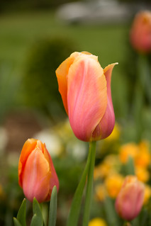 Tulips | by kngrainer