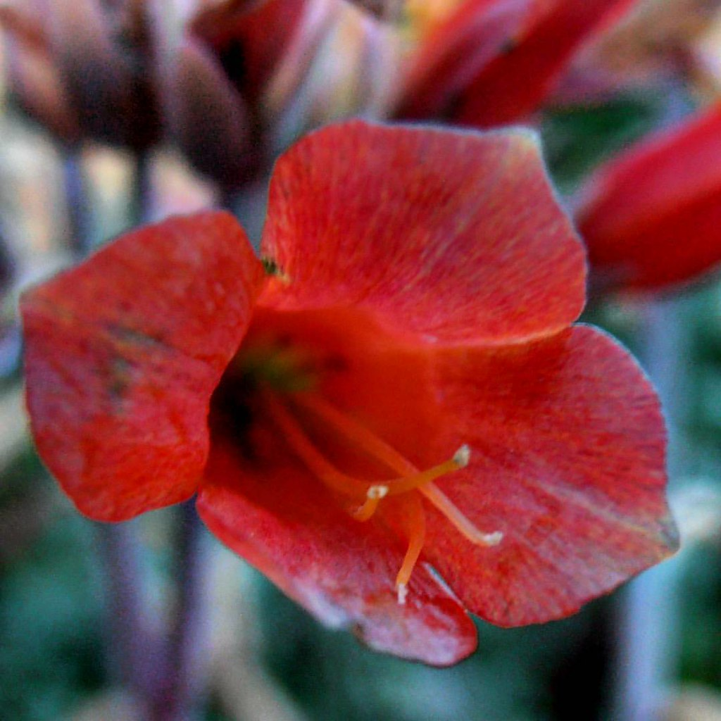 Fleur De Kalanchoedelagoensis Flowfleurs2016 Flowma Flickr
