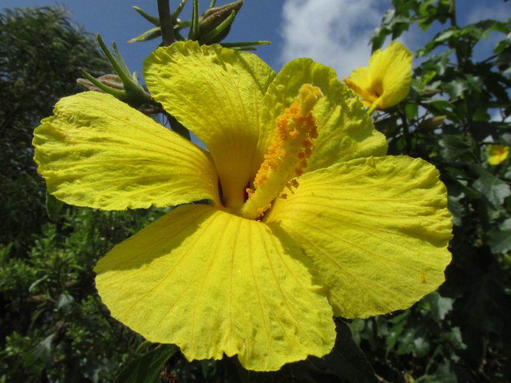 Hawaii state flower native yellow hibiscus the mao hau h flickr hawaii state flower native yellow hibiscus by forest kim izmirmasajfo