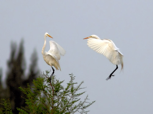 Great Egret duo HDR 01-20160313