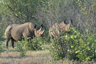 Schwarze Rhinos im Ongava Game Reserve