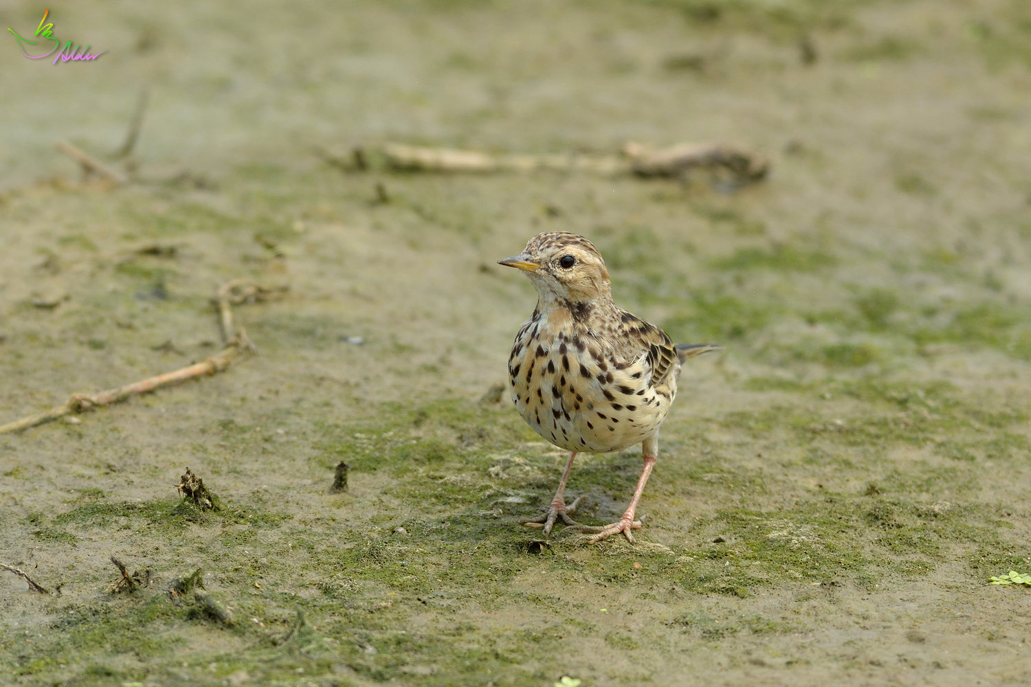 Red-throated_Pipit_3646
