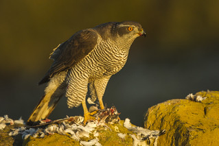 Northern Goshawk - Catalonia - Spain_S4E8845 | by fveronesi1