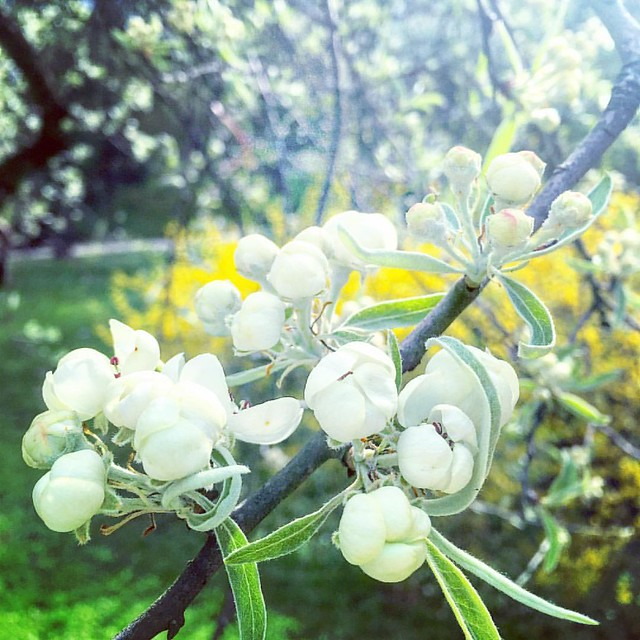 Груша верболиста. #spring #park #bloom #blooms #petal #petals #flower #flowers #tree #pear #nature #ilovenature #vsconature #naturelovers #flowermagic #flowerpower #flowersofinstagram #flowerslovers #instaflower #quintaflower #ponyfony_flowers #lviv #ukra