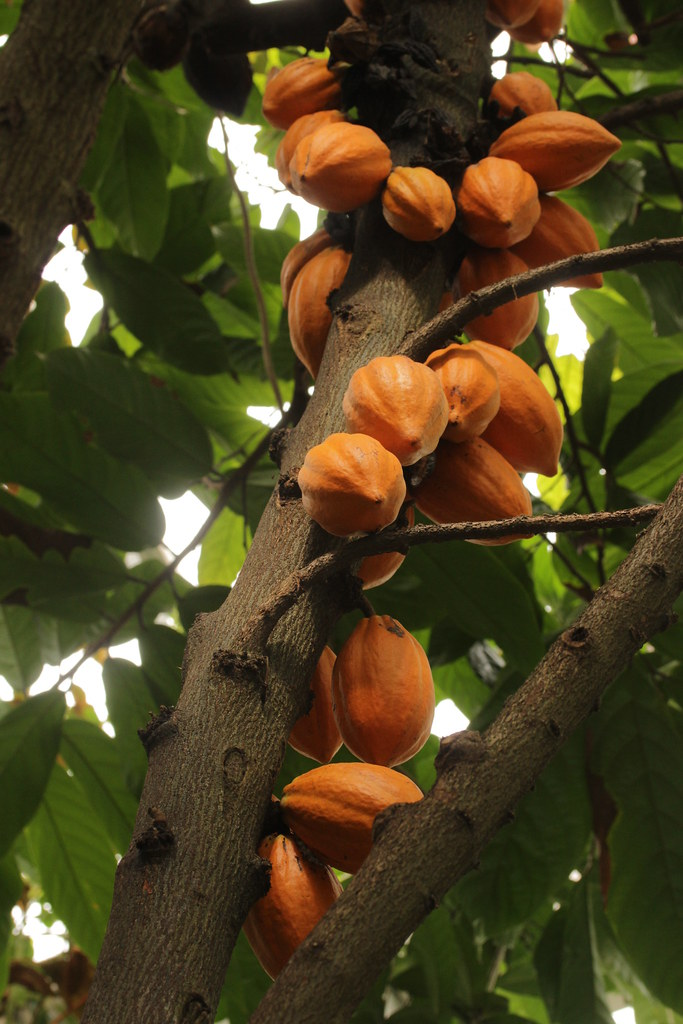 Cacao tree theobroma cacao bjrn s flickr cacao tree theobroma cacao by bjrn s sciox Image collections