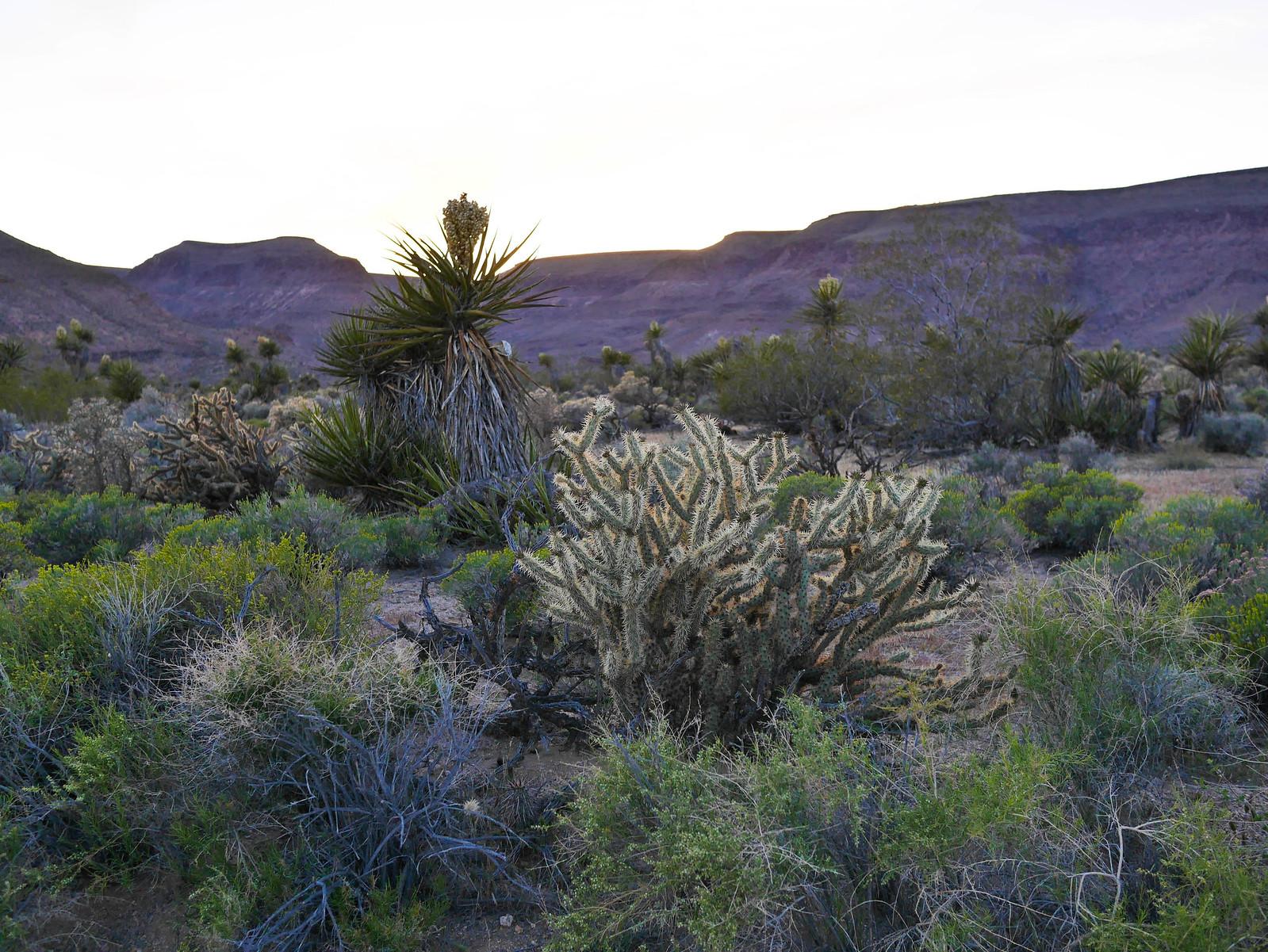 Desert blooms in Mojave NR