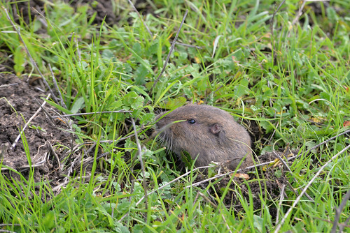 Botta's Pocket Gopher (Thomomys bottae) セイブホリネズミ, Mission Peak Regional Park, Fremont, California USA
