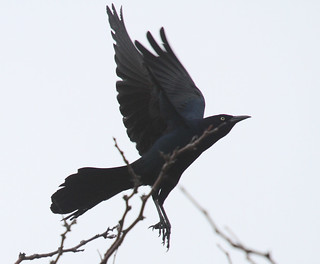 Boat-tailed Grackle (Quiscalus major) | Boat-tailed ...  Boat-tailed Gra...