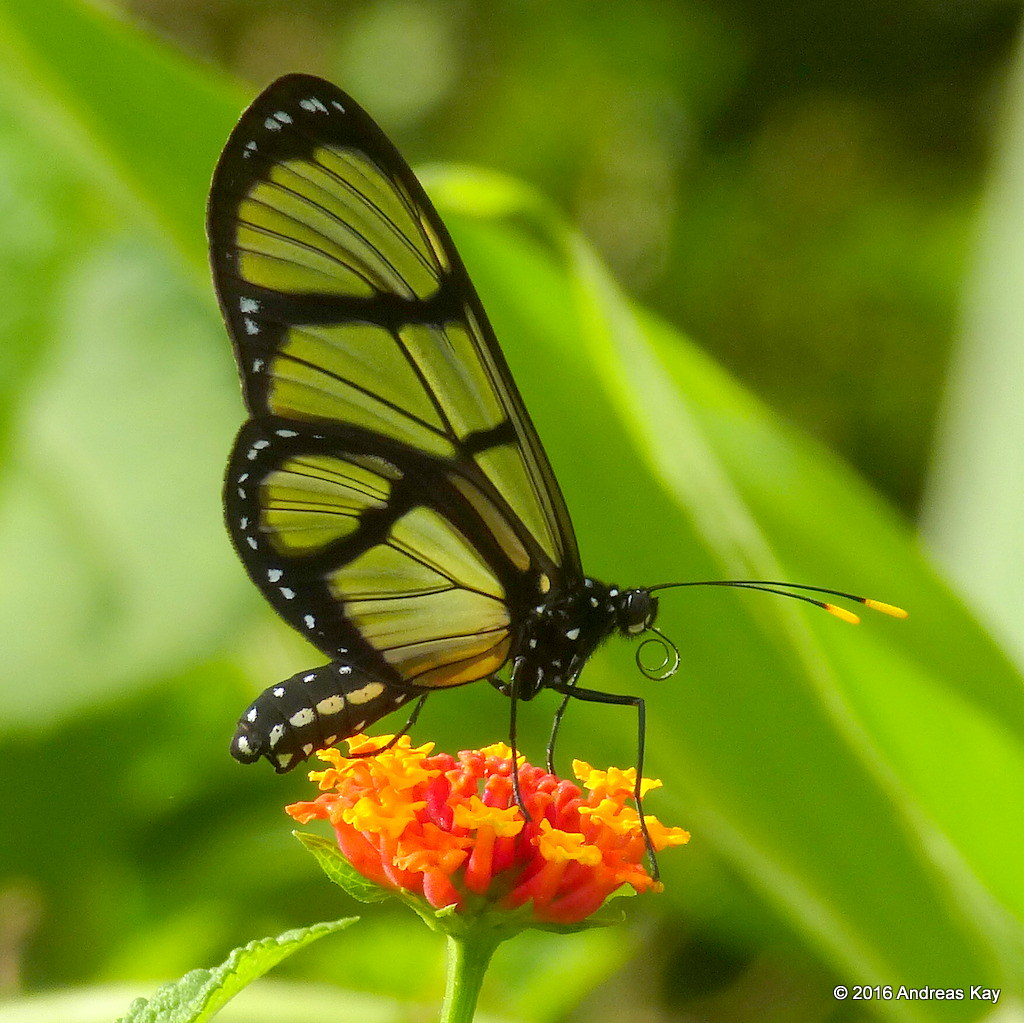 Glasswing butterfly, Methona sp. on Lantana camara