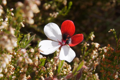 Pelargonium tricolor in wild