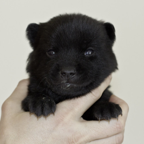 Kumi-Litter5-Day20-Puppy3-Male-a | by brada1878