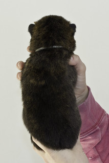 Kumi-Litter5-Day20-Puppy5-Male-b | by brada1878