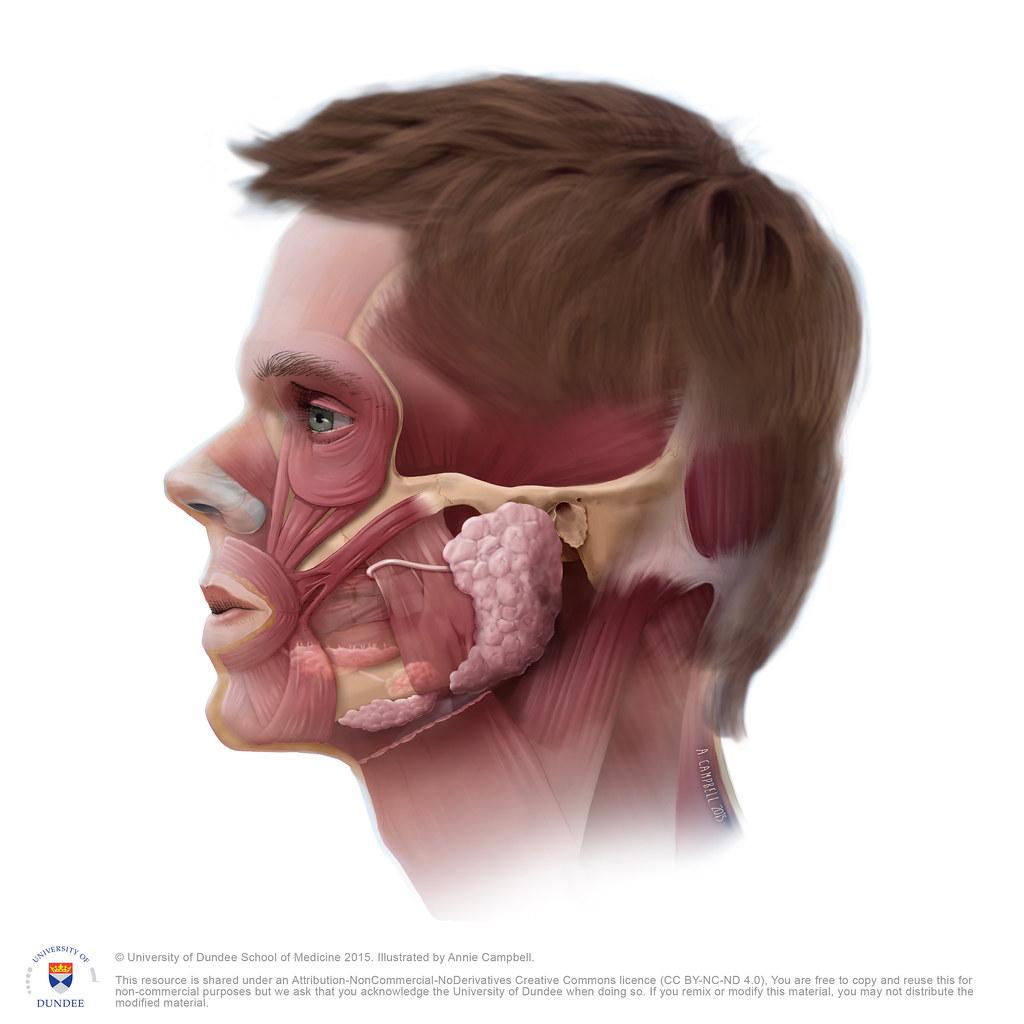 Head Anatomy Salivary and Parotid gland NO Labels by Annie… | Flickr