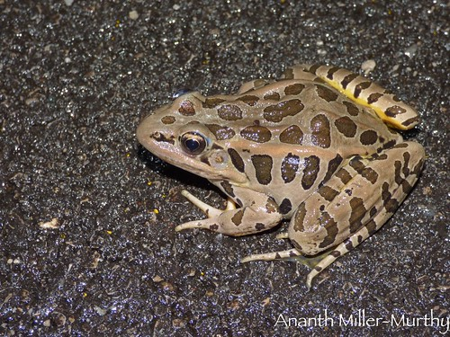 Pickerel Frog | by Ananth Miller-Murthy
