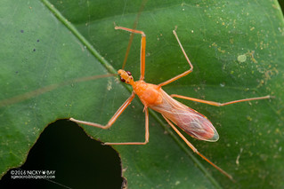 Assassin bug (Reduviidae) - DSC_7304
