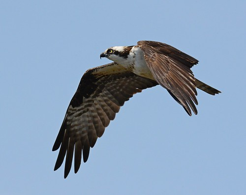 a study on ospreys The osprey or more specifically the western osprey (pandion haliaetus) — also called sea hawk, river hawk, and fish hawk — is a diurnal, fish-eating bird of prey with a cosmopolitan range it is a large raptor, reaching more than 60 cm (24 in) in length and 180 cm (71 in) across the wings it is brown on the upperparts and.
