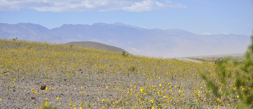 Death valley spring flowers 2016 incredibly beautiful bla flickr death valley spring flowers 2016 by xavier fumat mightylinksfo