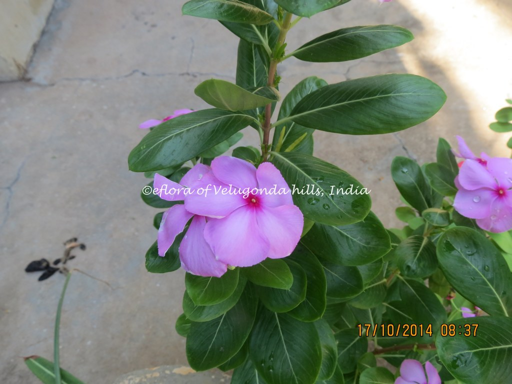 Catharanthus Roseus Pink Flowered Plant Name Catharanthus Flickr