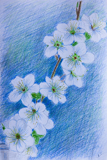 Cherry-plum in bloom. Colored pencils. A4 | by stacy2005ua