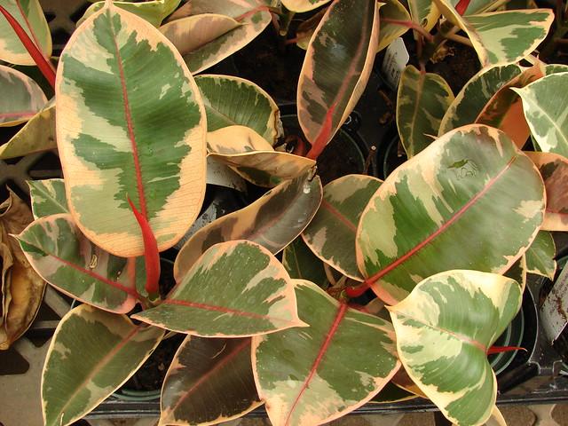 starr-080117-1722-Ficus_elastica-variegated_red_leaves-Walmart_Kahului-Maui