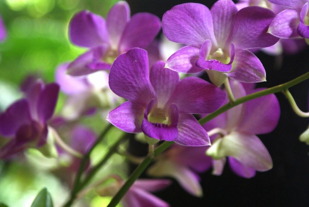 Orchidées dans le jardin de la maison Jim Thompson à Bangkok.