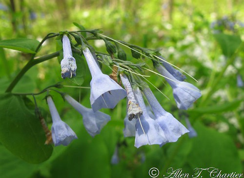 Minnesota Seasons Virginia bluebells