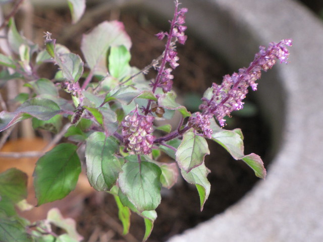 starr-110330-3688-Ocimum_tenuiflorum-flowers_and_seeds-Garden_of_Eden_Keanae-Maui
