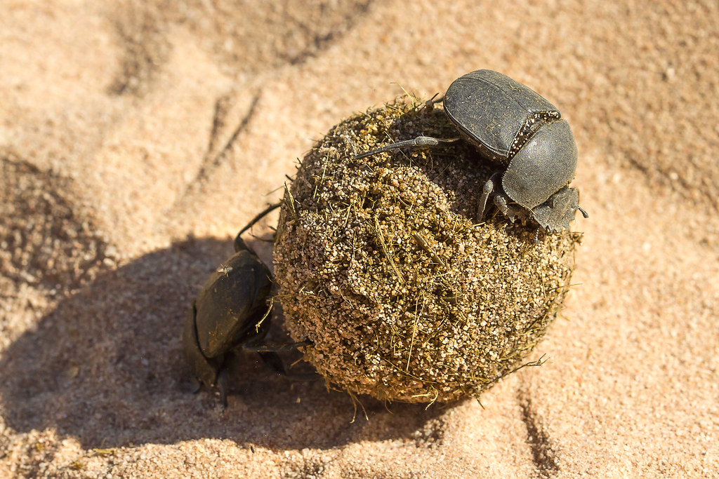 dung beetle scarabaeidae coleoptera a pair of dung beetl flickr