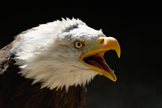 Bald Eagle | by FurLined