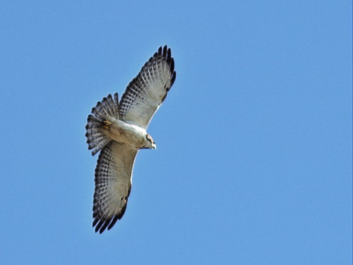 Short-tailed hawk 2-20160222