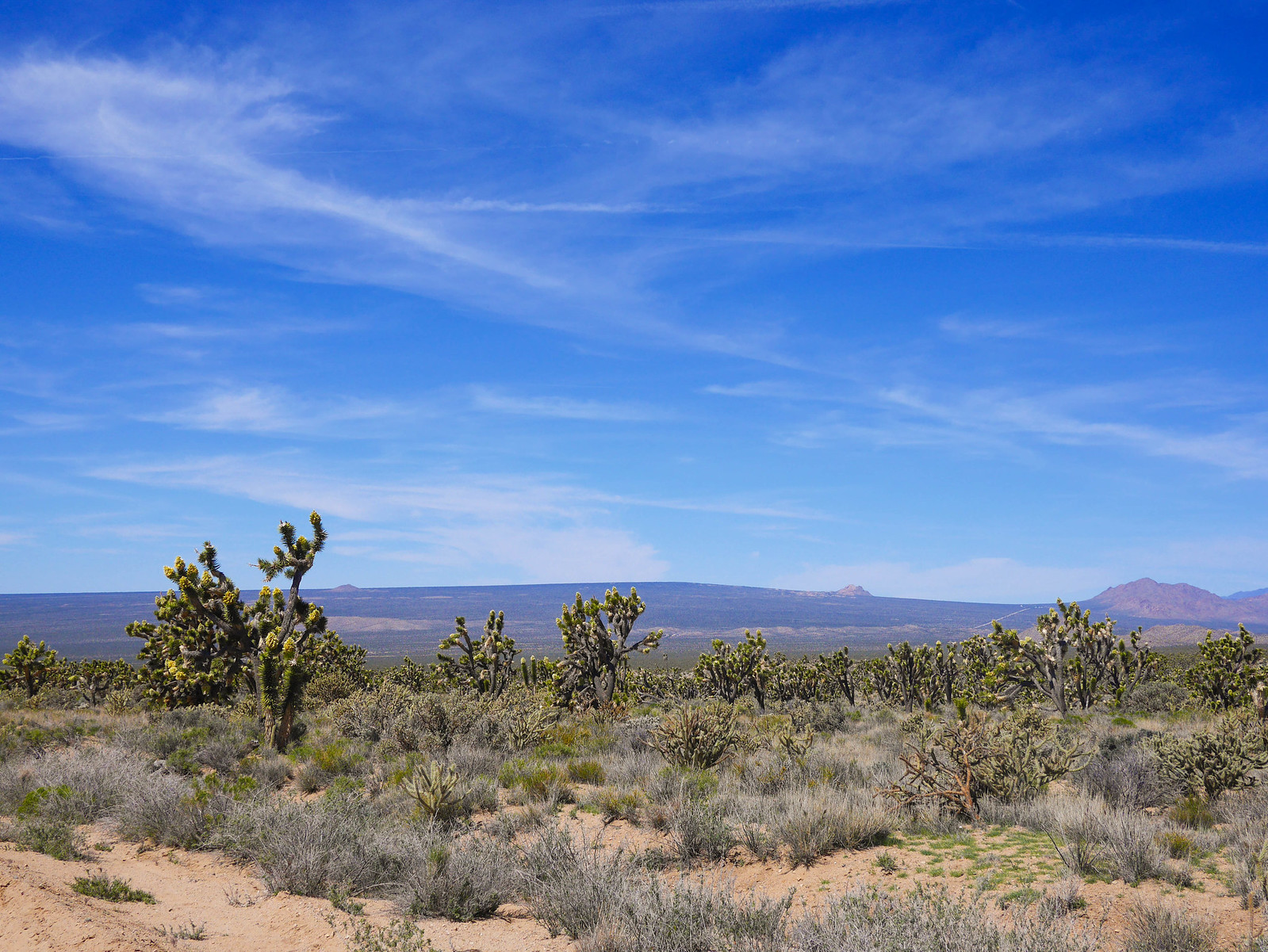 Joshua Trees in Mojave NR