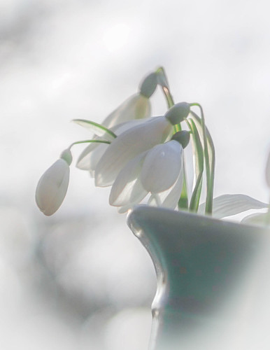 More snowdrops | by judy dean