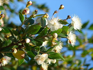 starr-080304-3229-Myrtus_communis-flowers_with_Puccinia_psidii-Lower_Kimo_Rd_Kula-Maui | by Starr Environmental